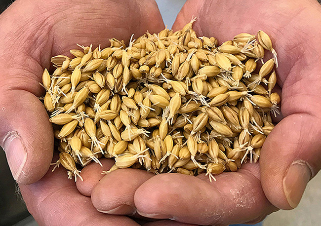 A picture of grain malted